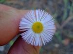 Taos Tiny Flower
